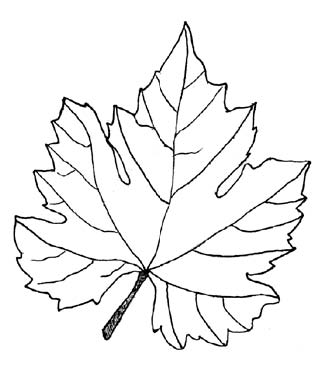 Papaya coloring page