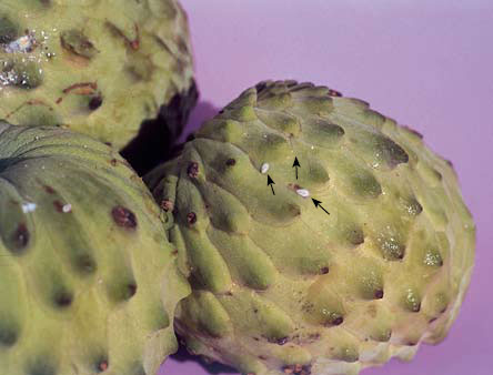 Sugar apple annona - Checking Foods